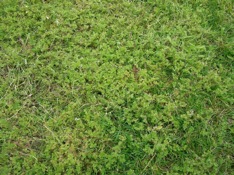 Lawnweed (Carpet burweed) in turf<figure><img src=