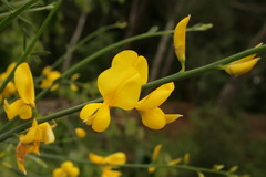 Spanish broom flower and stem - click for larger image