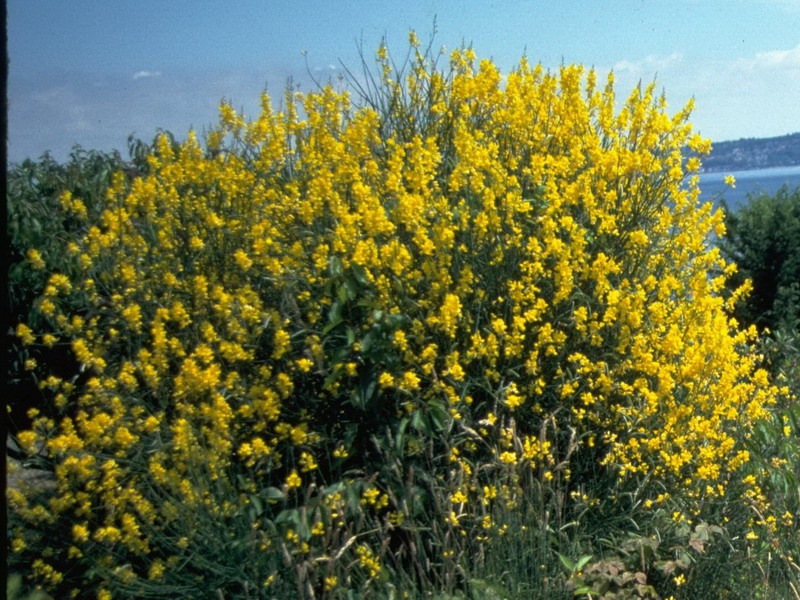 Spanish broom identification and control spartium junceum king county spanish broom photos mightylinksfo