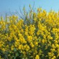 Spanish broom - Spartium junceum - click for larger image