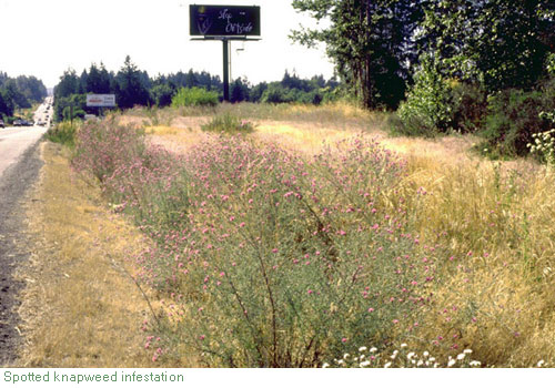 spotted knapweed infestation - click for larger image