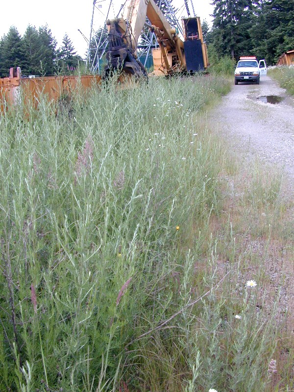 spotted knapweed on a construction site - click for larger image