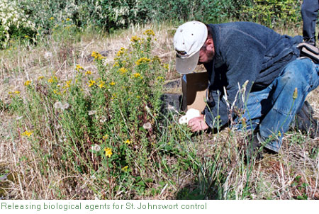 st. johnswort biocontrol