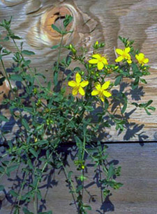 st. johnswort flowers