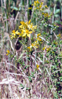 st. johnswort leaves