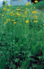 Tall buttercup (Ranunculus acris) - click for larger image
