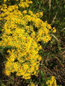 Tansy ragwort flowers closeup - click for larger image