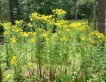 Tansy Ragwort, Class B Noxious Weed