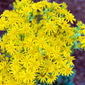 tansy ragwort flowers - click for larger image