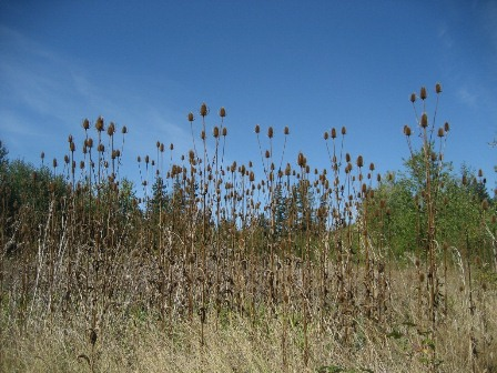 Common teasel - Dipsacus fullonum, infestation - click for larger image