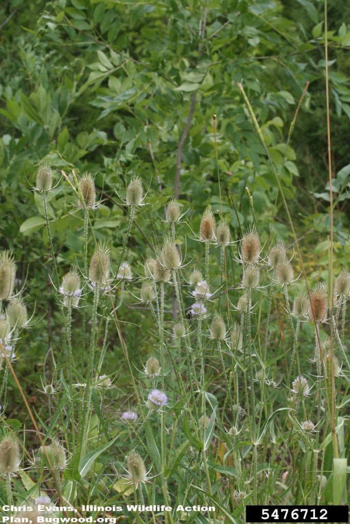 Common teasel, Dipsacus fullonum plants in flower