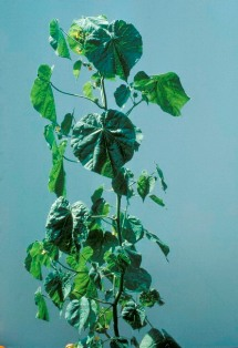 Velvetleaf plant - click for larger image