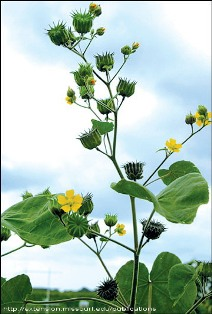 Velvetleaf plant flowering - click for larger image