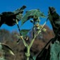 Velvetleaf plant top - click for larger image