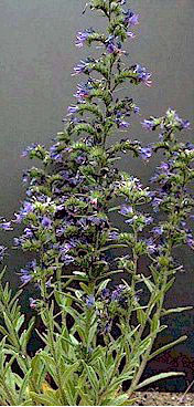 vipers bugloss plant - click for larger image