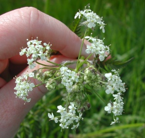 wild chervil flowers - click for larger image