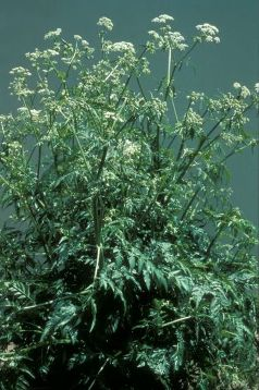 wild chervil - click for larger image