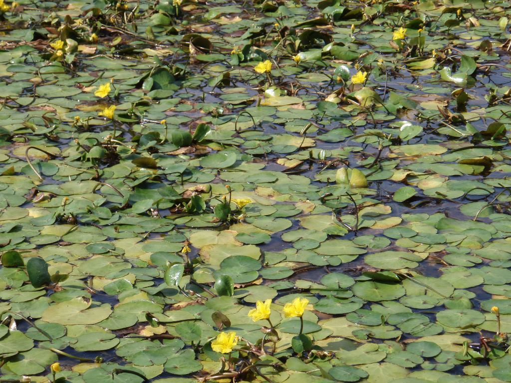 Yellow Floating Heart Identification And Control Nymphoides Peltata
