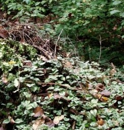 yellow archangel escaping from yard waste pile in park