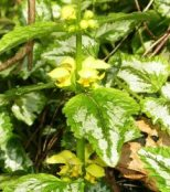 yellow archangel flowers closeup