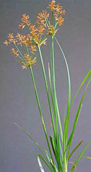 yellow nutsedge leaves and flowers