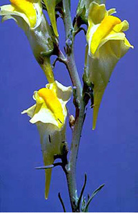 yellow toadflax flowers