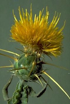 Yellow starthistle identification and control centaurea solstitalis yellow starthistle flower mightylinksfo