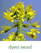 dyer's woad