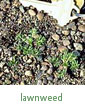 lawnweed
