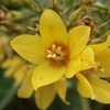 Weed of the Month Garden Loosestrife - click for KC Weed News