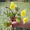 Weed of the Month Yellow Floating Heart - Click for KC Weed News