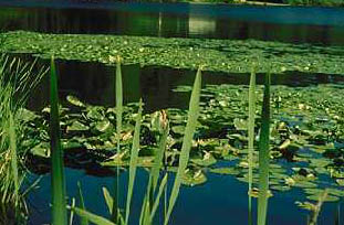 Non-native lilies growing on a lake.