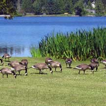Lakeside geese illustrating pathogens as an ecological function
