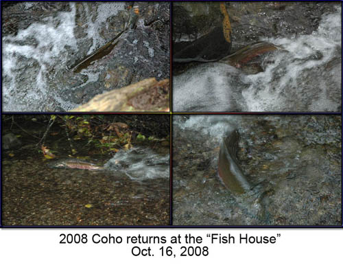 Four photos of coho salmon in stream. Photograph courtesy of Brett Fish.  All rights reserved.