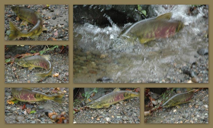 Collage of photos of chum salmon by Brett Fish