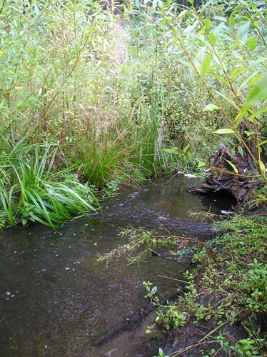 Photo of willows planted along Miller Creek on Port of Seattle property