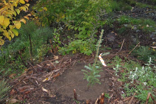 Photo of freshly-planted small Sitka spruce tree