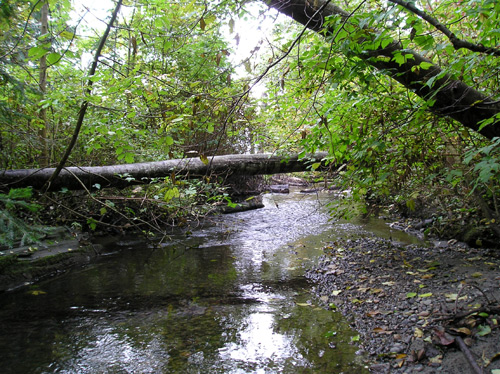 Photo of Miller Creek showing mature trees along the widening stream
