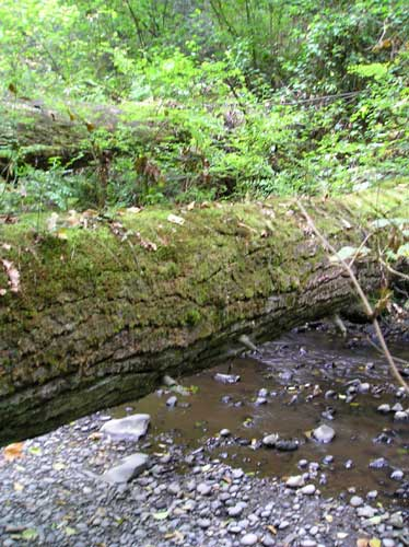 Photo of nurse log over Miller Creek
