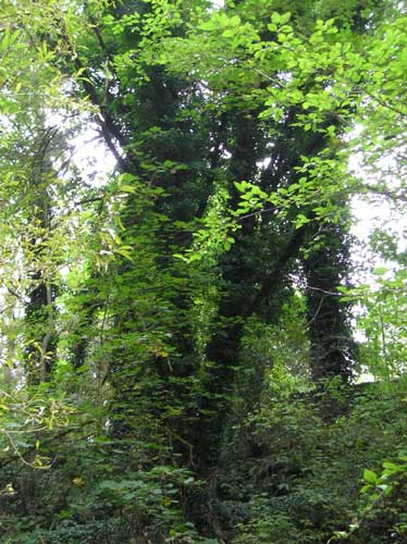 Photo of ivy-covered trees along Miller Creek