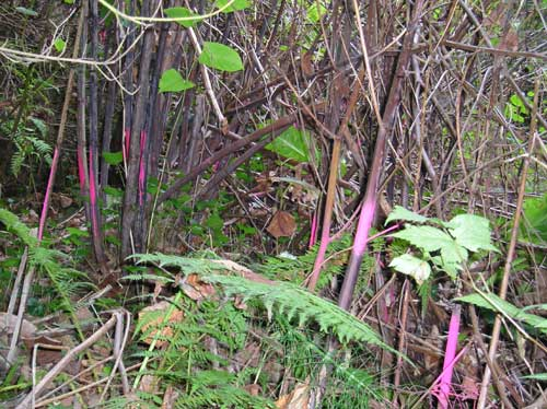 Photo of Miller Creek showing stand of knotweed that has been controlled with herbicide