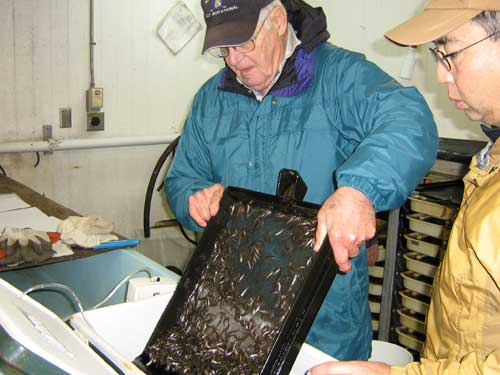 Photo of men tilting tray filled with small fish into an ice chest