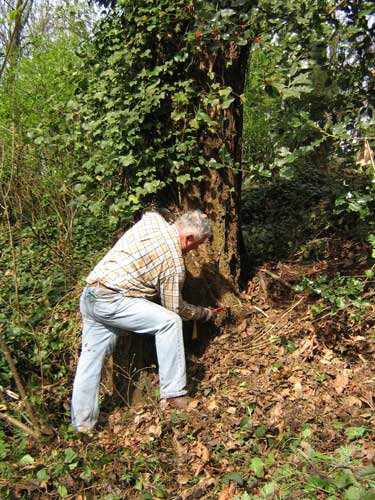 Photo of a man sawing through an ivy vine next to a tree trunk