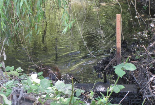 Photo of beaver swimming next to beaver dam