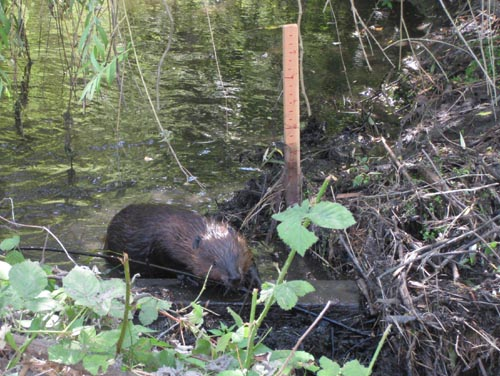 Photo of beaver on top of beaver dam.