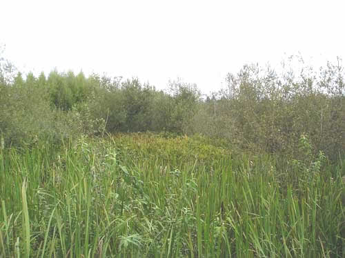 Photo of wetlands on Walker Creek