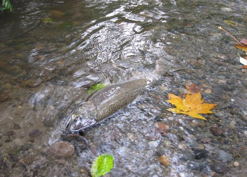 Photo of salmon lying on its side in shallow stream