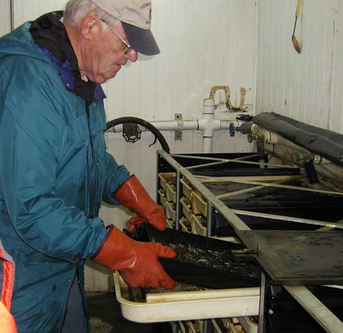 Photo of man lifting a tray filled with small fish