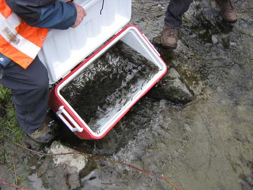 Photo of thousands of small fish in an ice chest about to be poured into a stream