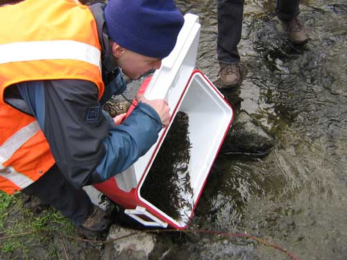 Photos of man pouring thousands of small fish out of an ice chest into a stream